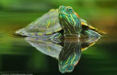 Turtle by Uda Dennie - reflections