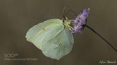 Kleopatra (İrfan Demirel / karşıyaka / Türkiye) #SLT-A57 #macro #photo #insect #nature