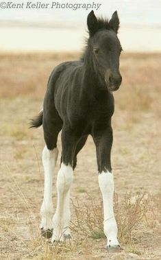 Minimally Marked Tobiano foal (if you look closely, you could see that he has white in his tail)