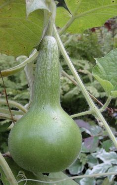 I bought a package of birdhouse gourd seeds.  I can't wait to plant them and see what happens!