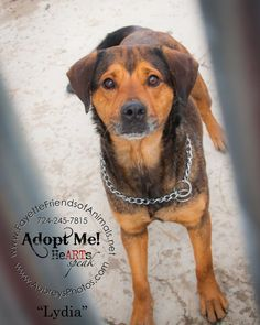 Meet Lydia a Petfinder adoptable Rottweiler Dog | Uniontown, PA | Hey there my name is LydiaI came from a Rottie Rescue.The number of people I trust is a few.It...