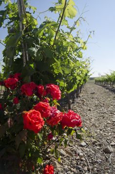 Grandes Vinos y Viñedos. June 2013  Beso de Vino