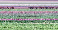 Lignes #2 Lisse2016 Version complète sur Facebook  #troisxsix #amsterdam #Lisse #ligne #color #flowers #pictureoftheday #instadaily #instagood #instalike by troisfoissix