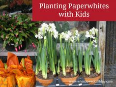 Growing paperwhites indoors with kids -- includes tutorial.