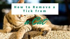Ticks are small parasites that are not only a nuisance, but can transfer diseases to your cat that can make him very sick. If you see a tick on your cat, it . Tick Removal, Mosquito Trap, Rifle Scope, Ticks, How To Remove, Essentials, Cats, Amazing, Gatos