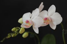 White Orchid  http://lexikon.orchideen-pflegen.de/orchideenarten/phalaenopsis/