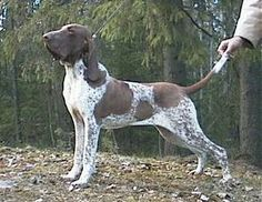 Bracco Italiano  (Italian Pointer)  (Italian Setter)  (Italian Pointing Dog)