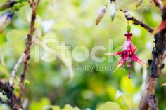 tukutuku (Fuchsia Excorticata), New Zealand's Tree Fuchsia royalty-free stock photo Free Stock, Native Plants, Image Now, Fine Art Photography, New Zealand, National Parks, Scenery, Stock Photos, World