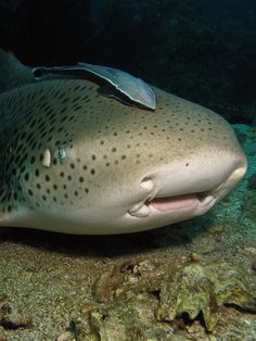 Leopard Shark-3 by Liquid Lense
