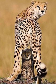 Best Cute Animals Photos You Never Seen Before – Page 2 – icanpinview Big Cats, Cats And Kittens, Siamese Cats, Perros Pit Bull, Baby Animals, Cute Animals, Wild Animals, Baby Tigers, Africa Destinations