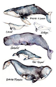 Grande Affiche Baleines | Espèces | Animal | Nature | Biologie | Dessin | Aquarelle | Marie-Eve Arpin | Fait au Quebec | Baleine | Art