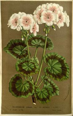 Flore des serres et des jardins de l'Europe ?ou...BY Van Houtte, Louis 1845 (TAG: BOTANICAL; LINK=>ARCHIVE.ORG FOR DOWNLOADS AND ORIGINAL IMAGE; PUBLIC DOMAIN)