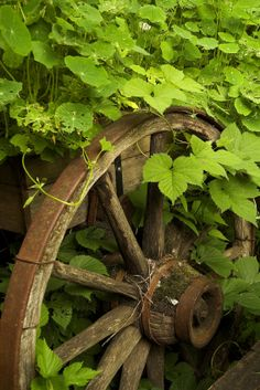 Hops Vine: The Fastest and Easiest to Grow Vines/ATTRACTS: Birds.