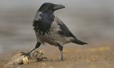 Country diary: Loch Broom, Highlands: The field held about 30 hooded crows and they seemed unusually tame