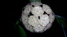 Hoya Sp. Sumatera No ID Like This ?