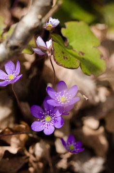 Anemone hepatica by LudwigSpove