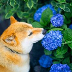 Shiba Inu~Spring is coming! Animals And Pets, Cute Animals, Japanese Dogs, Akita Dog, Majestic Animals, Shiba Inu, Best Dogs, Cute Puppies, Cute Cats