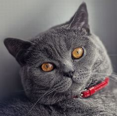 British Shorthair <3 my friend has these and they're so freakin adorable!!!