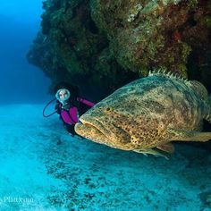 Goliath Grouper Taken by Cornet Platt Grand Cayman