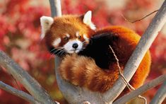Information about types of pandas that exist in the world. Not only that, you can find fun facts about giant pandas and red pandas too. Cute Creatures, Beautiful Creatures, Animals Beautiful, Animals And Pets, Baby Animals, Cute Animals, Image Panda, Types Of Pandas, Red Panda Cute