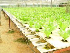 Greenhouse hydroponic lettuce...