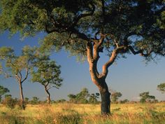 Photographic Print: Acacia Trees, Kruger National Park, South Africa by Walter Bibikow : Kruger National Park, National Parks, Savanna Tree, Coeur D Alene Resort, Game Reserve, East Coast, South Africa, Golf Courses, Beautiful Places