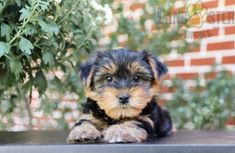 #YorkshireTerrier #Charming #PinterestPuppies #PuppiesOfPinterest #Puppy #Puppies #Pups #Pup #Funloving #Sweet #PuppyLove #Cute #Cuddly #Adorable #ForTheLoveOfADog #MansBestFriend #Animals #Dog #Pet #Pets #ChildrenFriendly #PuppyandChildren #ChildandPuppy #LancasterPuppies www.LancasterPuppies.com Lancaster Puppies, Yorkshire Terrier Puppies, Fun Loving, Puppies For Sale, Mans Best Friend, Puppy Love, Pets, Animals, Animales
