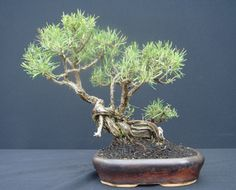 JP: Rosemary (Rosmarinus officinalis)  Height: 24 cm, 9.45 inches