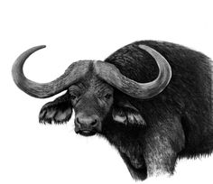 Charcoal Drawings | Big Five Buffalo, 2012 (70x100cm) | Original SOLD, prints available.