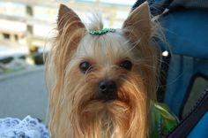 Ruby 6-26-2004. Toybox's Exquisite Jewel  She is my oldest Yorkie at home with us. She is a sweetheart weighing now only 3-3/4 lbs. She is the Great Granddaughter if Lizzie and the Mother if Twiggy and Danny.