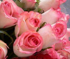 PINK TINGLED ROSES