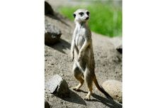 The Slender-tailed meerkats are a popular exhibit at the Edmonton Valley Zoo. The five males and three females came from the Czech Republic ...