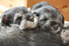 Cyoot Puppy ob teh Day: Baby Bearded Schnauzers