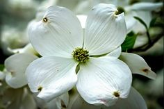 Cloud 9 Dogwood Tree For Sale Online Dogwood Trees, Dogwood Flowers, Flower Tree, Chicken For Dogs, Cloud 9, Landscaping Plants, Outdoor Gardens, Landscape, Image