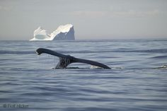 Humpback Whale With Iceberg: Picture of a Humpback Whale Fluke in front of an iceberg near Newfoundland, Canada.