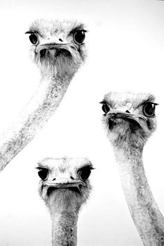 I want to say something cute, but I think their looks say it all.  3 ostriches