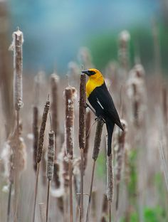 Yellow-headed blackbird,this reminds me of a pic i took not to long ago,beautiful bird