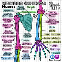 Anatomy in Spanish Body Anatomy, Anatomy Study, Studying Medicine, Medicine Notes, Medical Anatomy, La Formation, Med Student, Medical Illustration, Medical Science