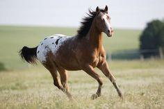 appaloosa horses | Horses 4 ever