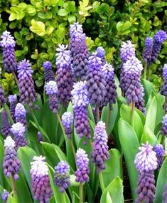 "early spring - Muscari latifolium - good with daffs, 6"" ht"