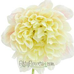 FiftyFlowers.com - Dahlia Flower Ivory White