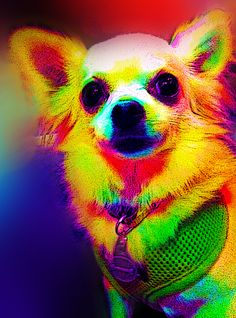 One of the <3's of my life. My #chihuahua Brain.  (Playing around with photoshop)