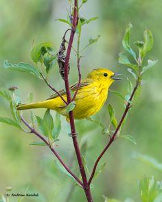 Singing Yellow Warbler, Along the Clark Fork River, Missoula, Montana