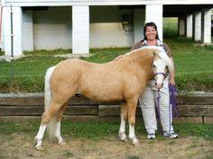 Stonecountry Shakespeare, Welsh Mountain stallion
