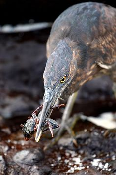 A Lava Heron catching a young Sally Lightfoot Crab on Espanola Island in the Galapagos.