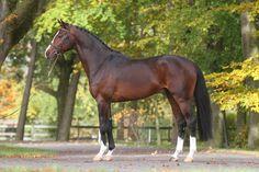 Fantastic Warmbloods Chellsini Z, 2009 Zangersheide Stallion…