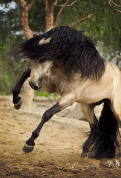 That is one sharp feisty horse! Buckskin colors.