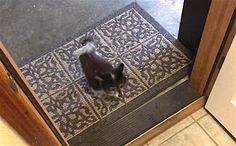Tiny Dog Does the Cutest, Most Polite Thing Before Entering Home