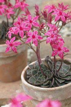 Chihuahua Flower - Monrovia - Chihuahua Flower