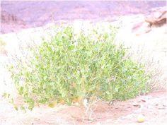 les plantes médicinales du Sahara: Chou du désert (schouwia thebaica)